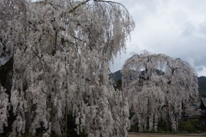 大野寺の枝垂れ小糸桜