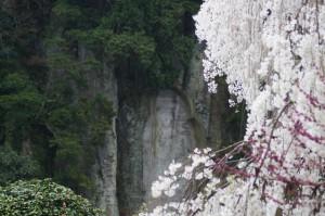 弥勒麿崖仏と桜